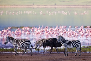 Zebras and a wildebeest in the Ngorongoro Crater, Tanzania